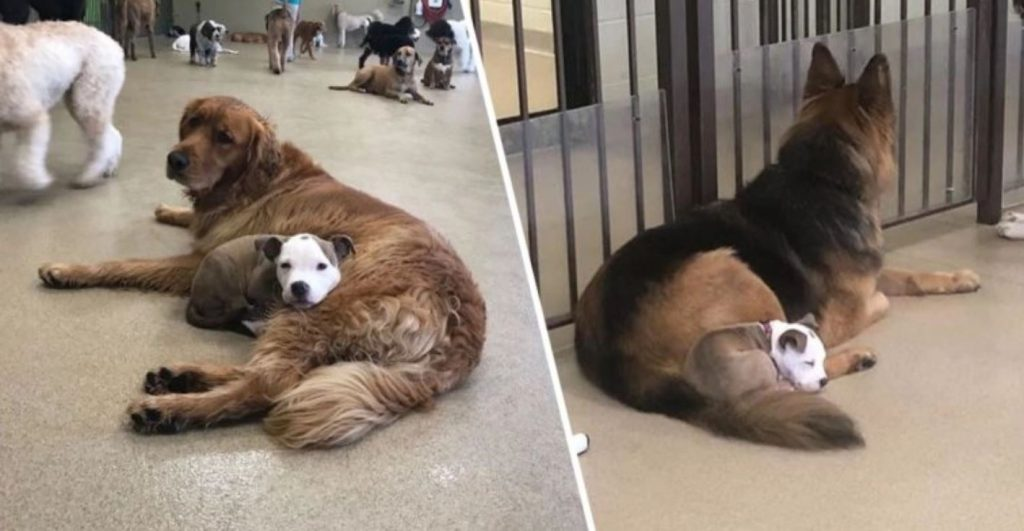Dog Always Befriends The Fluffiest And Biggest Dogs In Daycare So She Can Nap On Them
