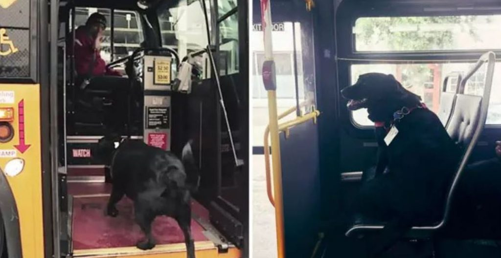Dog Rides The Bus Every Day All By Herself To Go To The Park