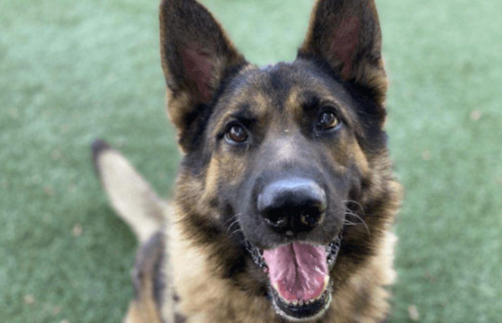 Stunningly beautiful shepherd unclaimed at busy animal control agency