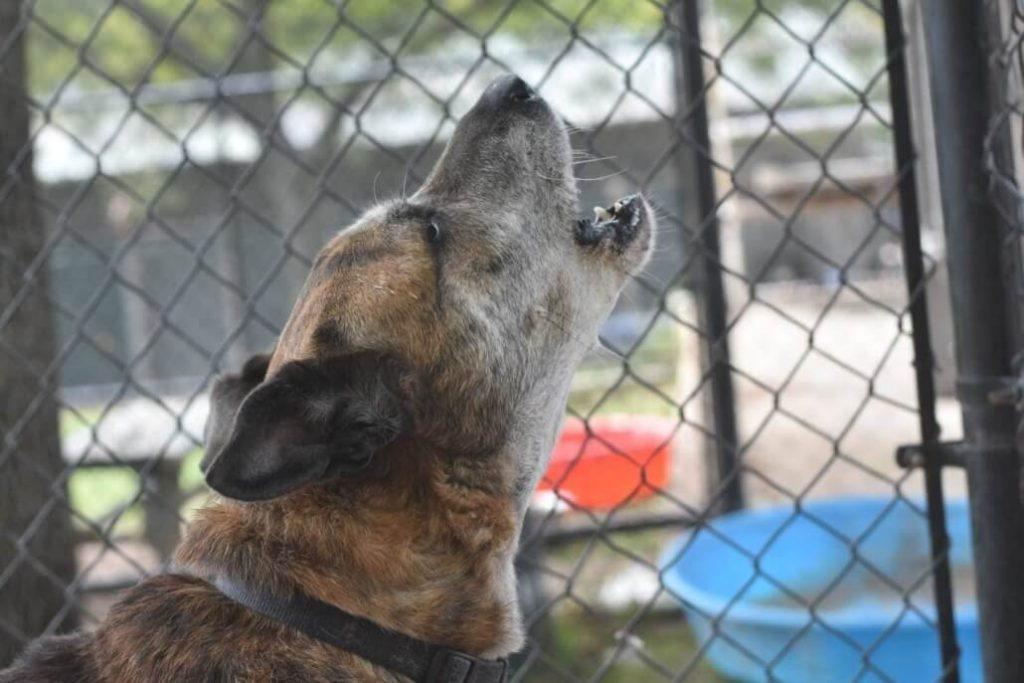 Senior dog confused after being surrendered to shelter