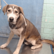 Puppy alert: Two eight-month-old Labs wind up at California shelter