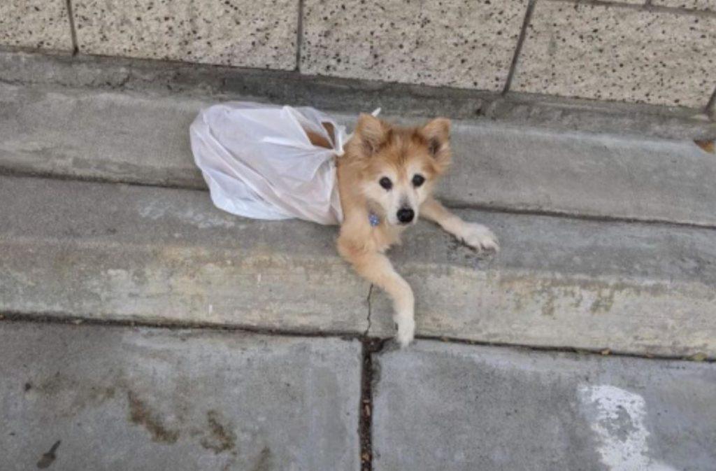 Senior Pomeranian left in shelter parking lot tied in grocery bag