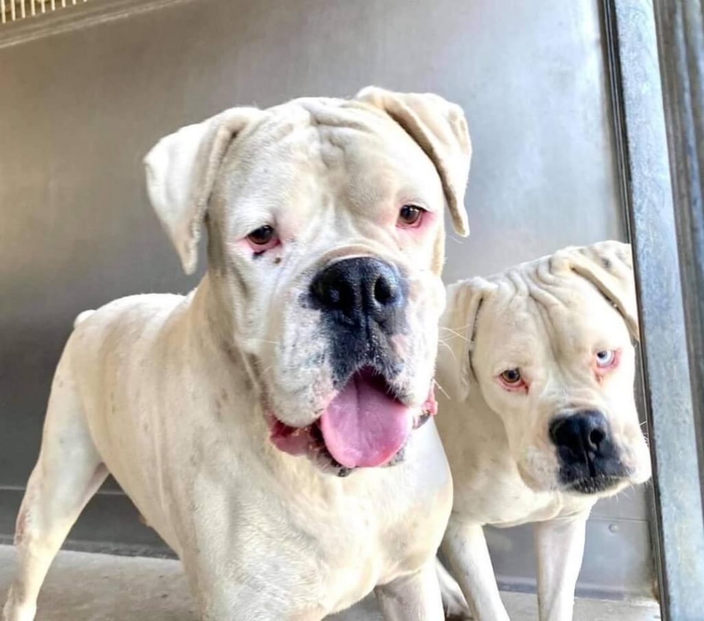 Owner surrendered bonded senior siblings to animal control, one dog is deaf, both are rescue only