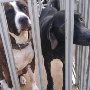 Beautiful dogs dumped in shelter drop box during the night
