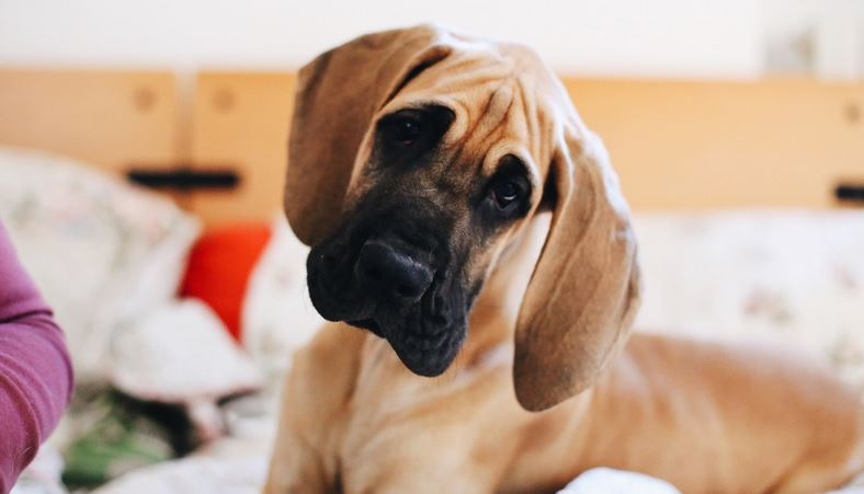 How to Clean Your Dog's Ears: A Guide