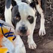 Dog left tied up and tangled in his leash with his belongings at Sunset Beach
