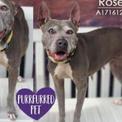 Rose's family couldn't handle the cost, so they surrendered their senior dog to a 'kill' facility