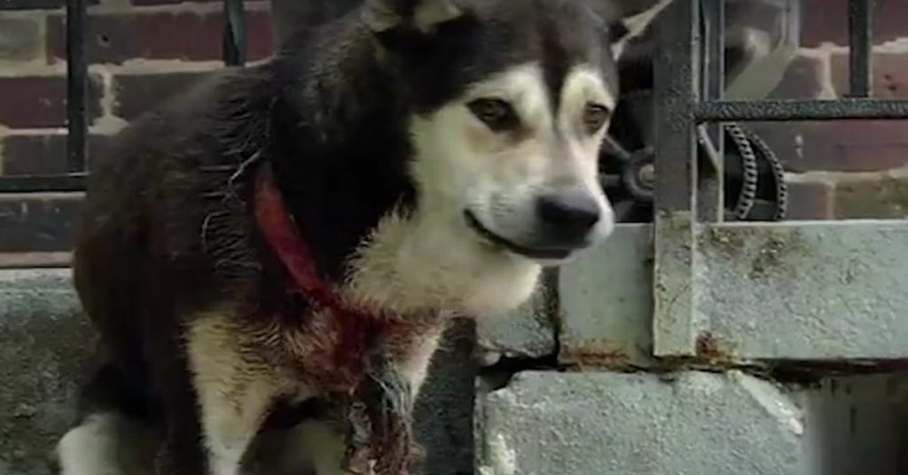Left Outside Alone With A Tight Collar Digging Into His Neck, This Dog Has Never Been Cared For