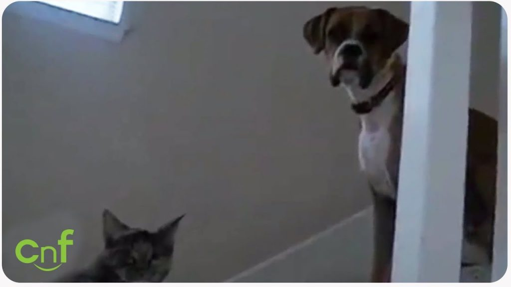 Terrified Boxer Gathers Up The Courage To Walk Past The Cat