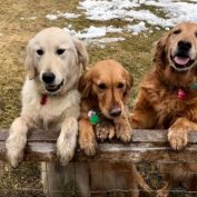 10 Golden Retriever Rescues Looking For Fosters And Adopters