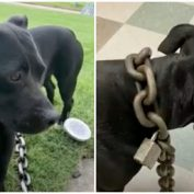 Man Finds Stray Dog With A 30-Pound Chain Padlocked Around Her Neck