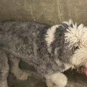 Old English sheepdog stray at crowded Los Angeles shelter