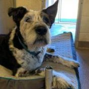 Sore old dog in need of a new home after his family gave him to the shelter