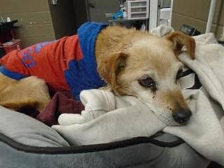Scared 12-year-old beagle deserves better than dying alone at a shelter
