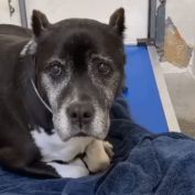 Days before Christmas, elderly, cancer-stricken dog left at busy shelter