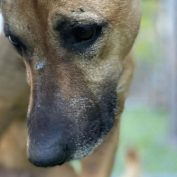 Shepherd surrendered to crowded shelter when her owners moved away