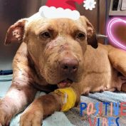 Urgent plea issued on behalf of injured, likely abused, dog at animal control agency