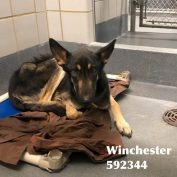 Young, malnourished German shepherd 'at risk of being killed' at animal services