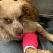 Rescued dog 'screamed in pain' during transport from shelter and then required emergency amputation