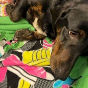 Brokenhearted Basset hound suffering multiple injuries saved by rescue