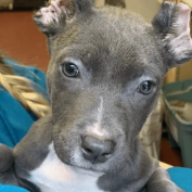 Three-month-old puppy with mutilated ears found wandering the streets