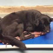 Terrified Labrador retriever shakes and drools in his kennel at animal control
