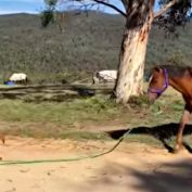 Exuberant Puppy Takes Wild Horse For A Walk All By Himself And The Video Has Gone Viral