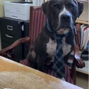 Shelter Director And Overlooked Pit Bull Trade Places For A Day