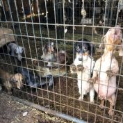 More than 400 animals mostly dogs rescued from awful Kentucky puppy mill
