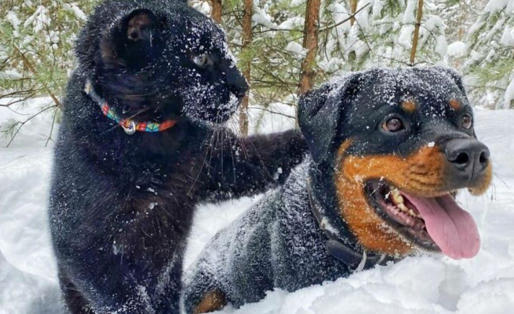 Panther Abandoned By Its Mother Grows Up With A Human And Rottweiler