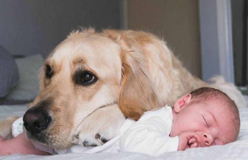 Golden Retriever Becomes A Big Brother To His Human Sister Right From Her Birth, And These 39 Pics Show Their Incredible Bond