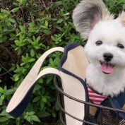 """Meet Goma, The """"Mickey Mouse"""" Dog With Giant Fluffy Ears"""
