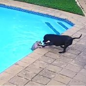 Hero Dog Saves His Friend From Drowning In The Pool