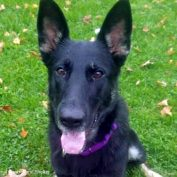 Rescued German Shepherd Becomes Mason Police Department's First K-9 Officer