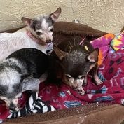 46 Chihuahuas Rescued From Hoarding Situation In New Mexico After Owner Passes Away