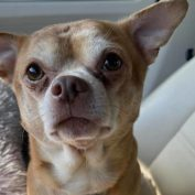 Adoption offering from foster mom for two-year-old 'demonic Chihuahua goes viral