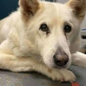 This is the look of a dog after 16 years with her owner is dumped at a Texas shelter