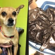 Abandoned Chihuahua discovered in garbage bag sealed in storage bin for 17 hours