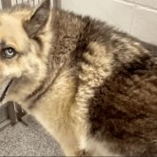 Senior shepherd dumped at shelter for having accidents in the house during thunderstorms
