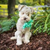 Rescue seeks special home for tiny pup who is blind because of a bad breeder