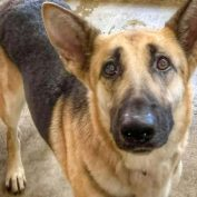 Beautiful shepherd left at shelter with her ball, now she is on the 'urgent' list