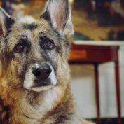 President Biden's senior German shepherd, Champ, has died