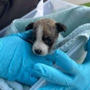 Three-week-old puppy with missing back leg found abandoned in park