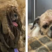 Internet falls in love with stray Shih Tzu entangled with pounds of matted hair