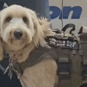 Service dog stolen inside of woman's jeep by thief found and reunited with owner
