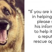 Senior German shepherd continues to wait as shelter gets more and more crowded