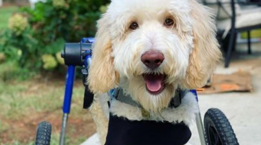 Disabled Rescue Dog Cannot Control His Excitement Over New Wheelchair Ramp