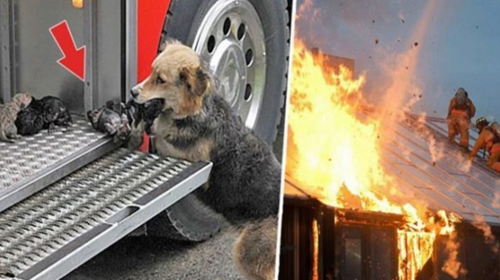 Heroic mother dog went through a blazing fire multiple times to rescue her puppies
