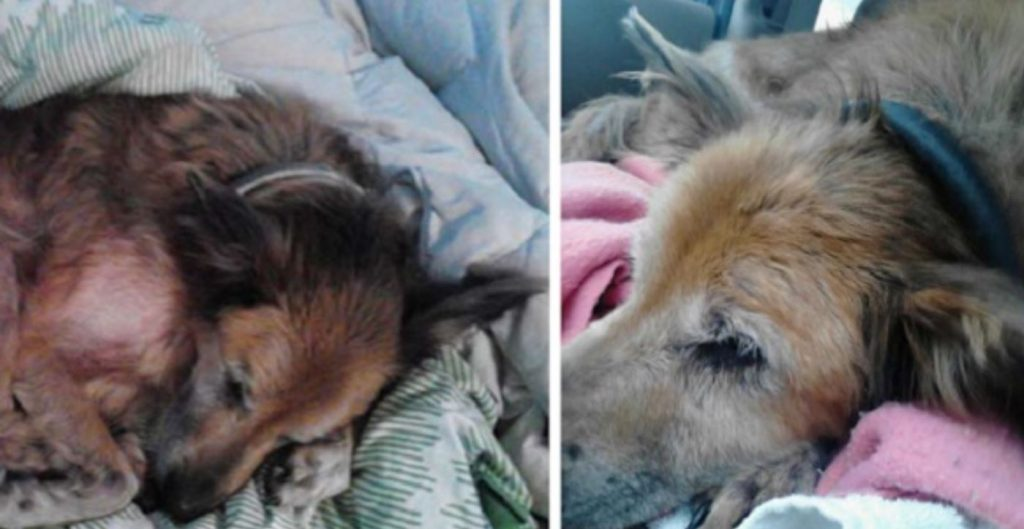 No One Wanted A Dying, 16-Year-Old Shelter Dog And Then A Family Took A Chance