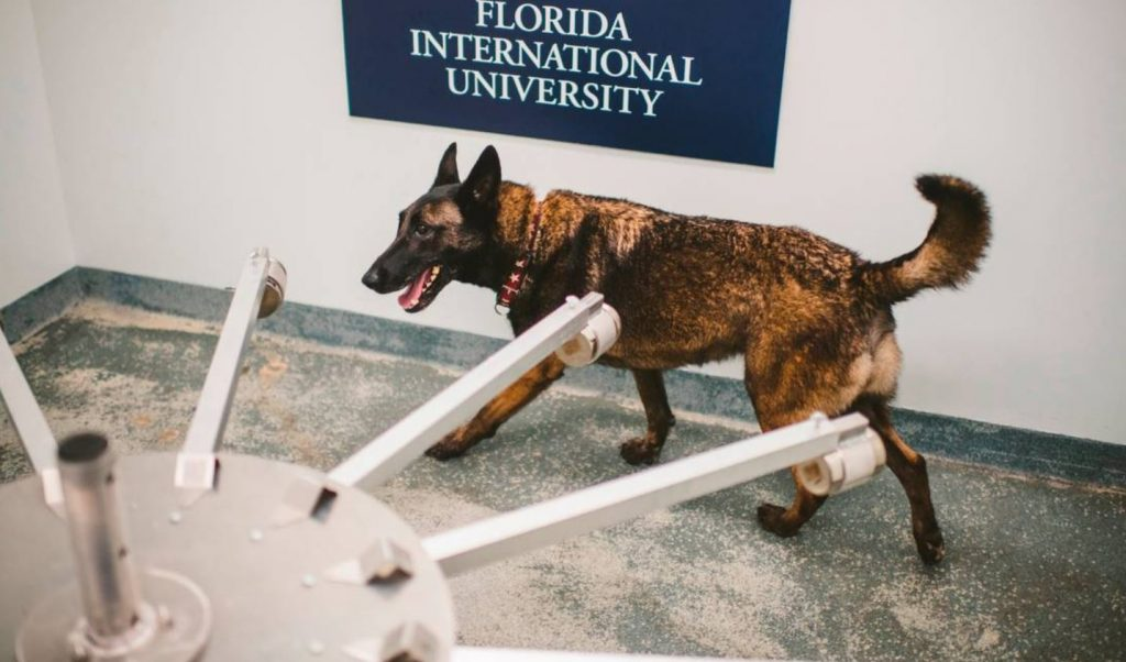 Detection Dogs Are Using Their Noses To Sniff Out Covid-19 at Miami Airport
